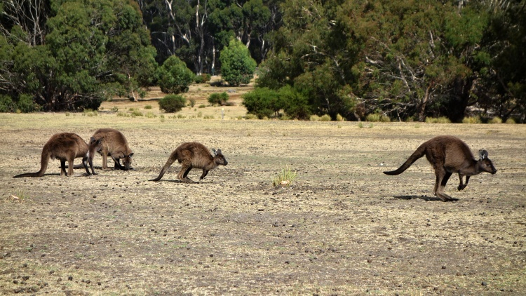 There really are kangaroos on Kangaroo Island!