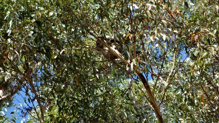 Look up to spot cute koalas!