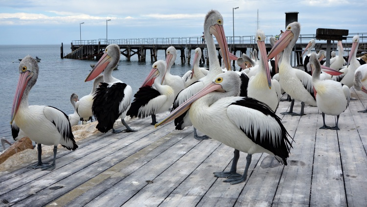 You might still see some pelicans at the Kingscote Wharf