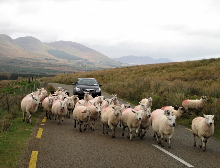 A usual sight in County Kerry